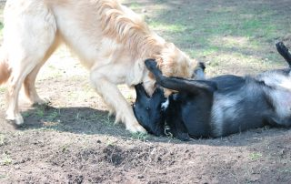 Hunde toben sich aus - Professionelle Betreuung - Bianca Jost Hundebetreuung in Hamburg