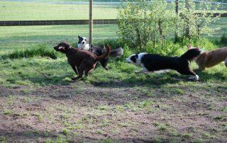 Hunde toben sich aus auf eingezäunter Spielwiese - Professionelle Betreuung - Bianca Jost Hundebetreuung in Hamburg